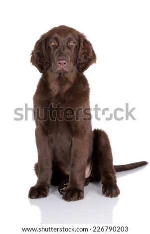 brown flat coated retriever puppy - stock photo