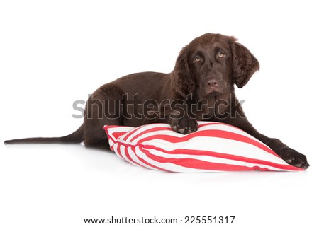 brown flat coated retriever puppy on a pillow - stock photo