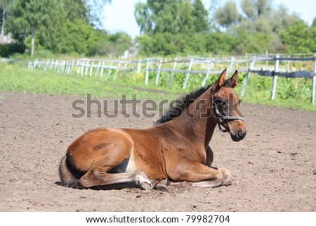 Brown foal lying down on the ground - stock photo