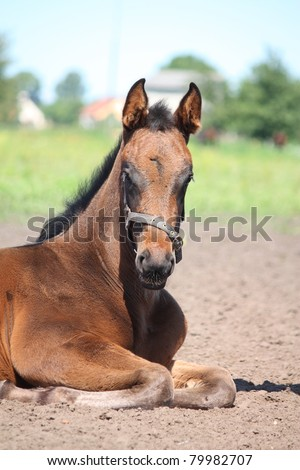Brown foal lying on the ground - stock photo