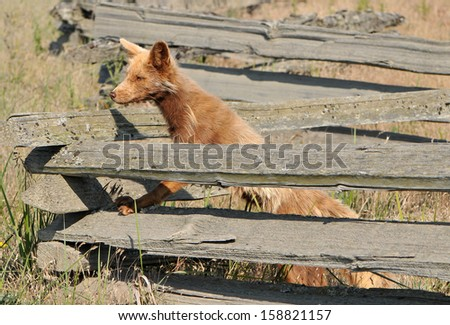 brown fox on fence - stock photo