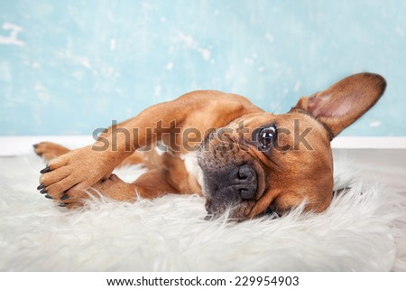 brown french bulldog lying on a fluffy blanket - stock photo