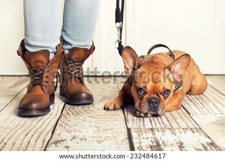 brown french bulldog lying on floor, waiting for walking  - stock photo