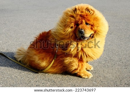 Brown friendly chow-chow dog in the city. Vilnius. Lithuania. - stock photo