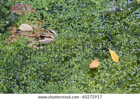 brown frog hides in duckweed and leaves - stock photo