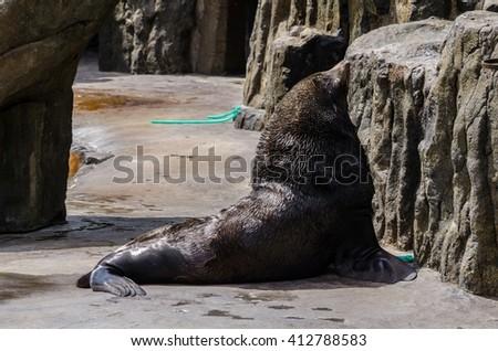 Brown Fur Seals (Arctocephalus pusillus) in ZOO Prague - stock photo