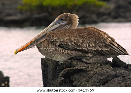 Brown galapagos pelican resting on the lava - stock photo
