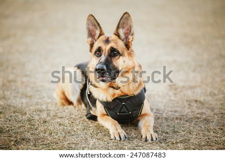 Brown German Shepherd Dog Sitting On Ground - stock photo
