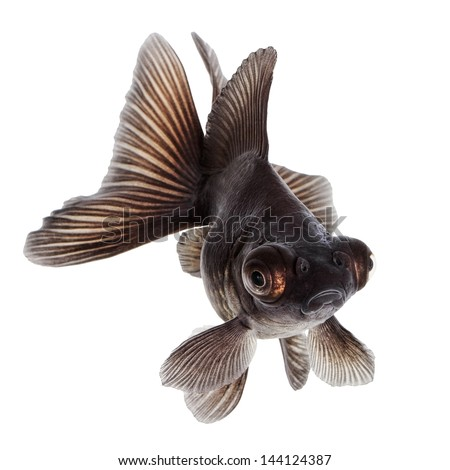 Brown Goldfish Isolated on White Background Without Shadow - stock photo