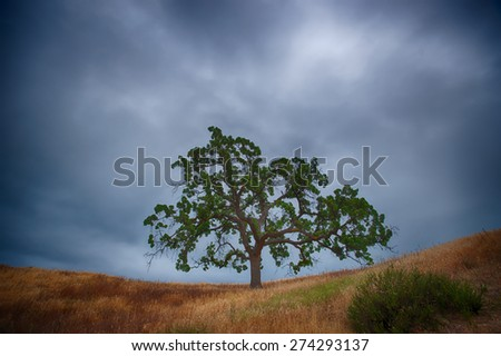 Brown grass and a green live oak tree under the gray clouds of a dark sky. - stock photo