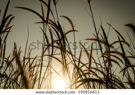 Brown Grass Plumes At Sunrise - stock photo