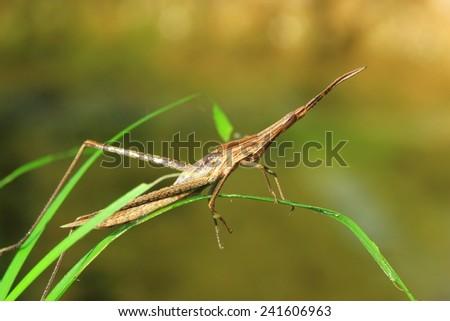 Brown grasshopper - stock photo