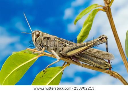 Brown grasshopper in tree - stock photo