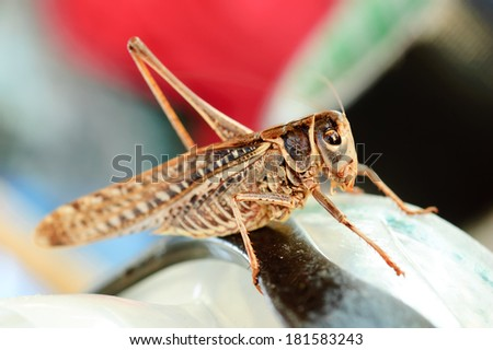 Brown grasshopper insect macro or extreme closeup - stock photo