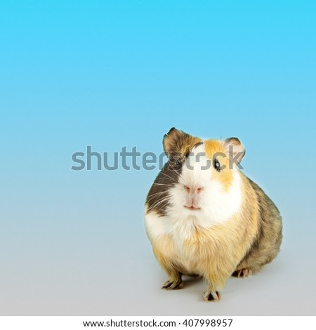 brown guinea pig on white isolated - stock photo
