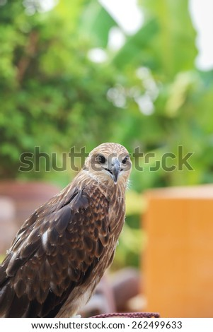 Brown Hawk. - stock photo