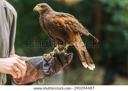 Brown hawk sitting and waiting on falconers human hand with blurred background - stock photo