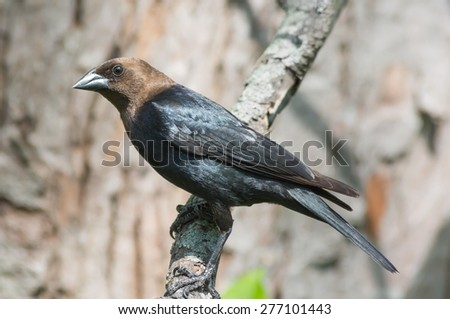 Brown-headed cowbird perched on a tree branch. - stock photo