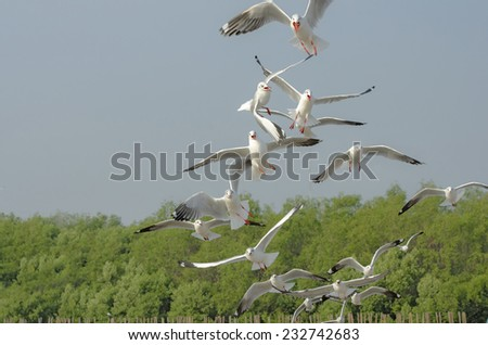 Brown headed Gull on flying with sky background  - stock photo