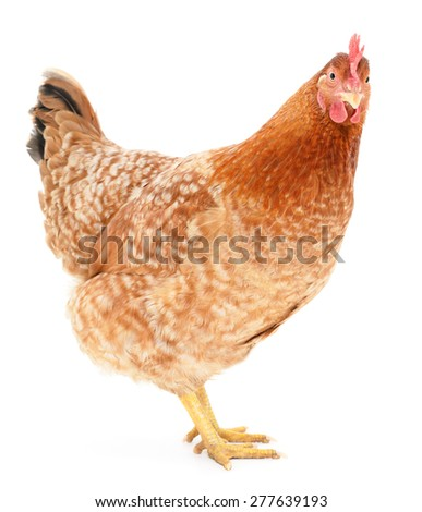 brown hen isolated on white, studio shot - stock photo