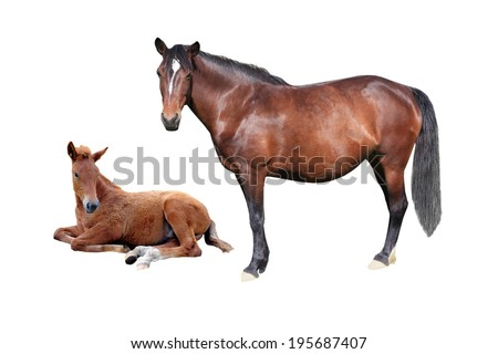 brown horse and stallion on a white background - stock photo
