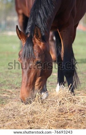 Brown horse eating hay - stock photo