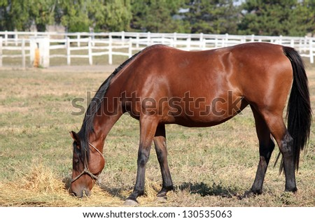 brown horse eating hay in corral ranch scene - stock photo