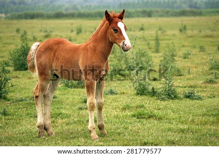 brown horse foal on pasture - stock photo