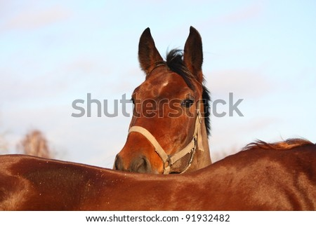 Brown horse hiding behind another horse - stock photo