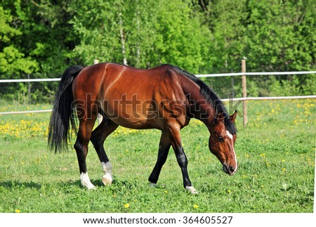 Brown horse in corral with white fence - stock photo