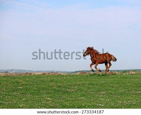 brown horse running on field - stock photo