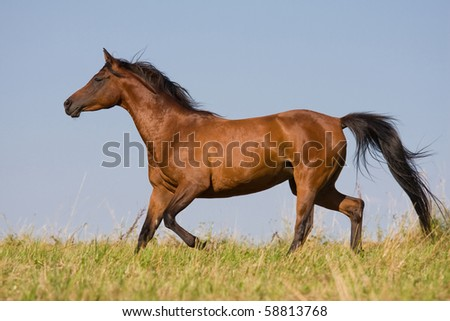 Brown horse running on the meadow - stock photo