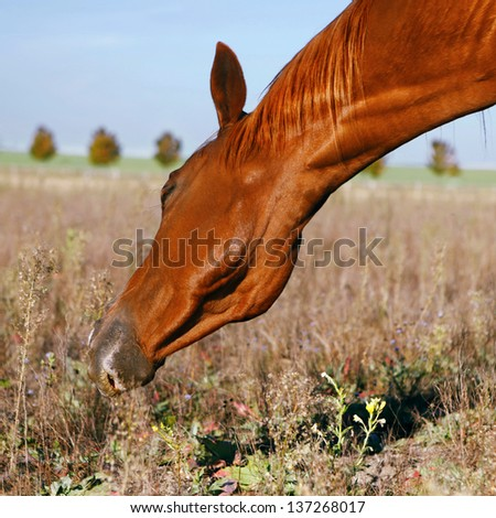 brown horse stands in a meadow and eats, close up - stock photo