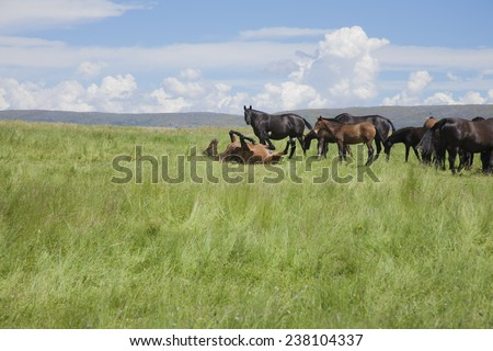 brown horse wallowing on green prairie next to livestock in Spain Europe - stock photo