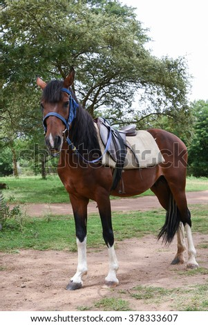 Brown horse with saddle on a back for carrying traveler and goods, in a farm house  in India. - stock photo