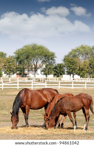 brown horses eat hay - stock photo