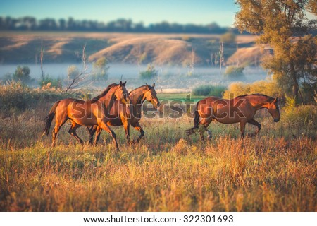 brown horses running across the field - stock photo