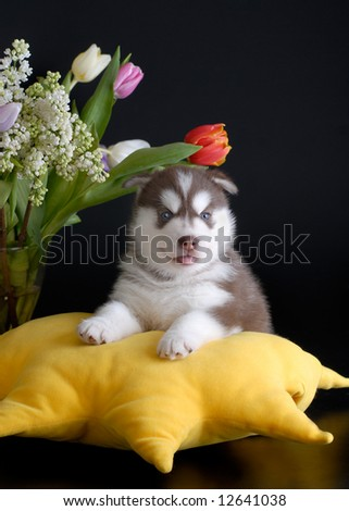 brown husky puppy with flowers - stock photo