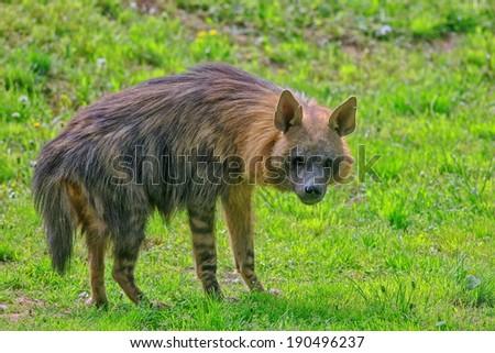 brown hyena - stock photo
