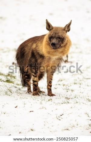 brown hyena in detail - stock photo