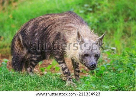 brown hyena is looking for something to eat - stock photo