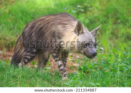 brown hyena is lurking for prey - stock photo