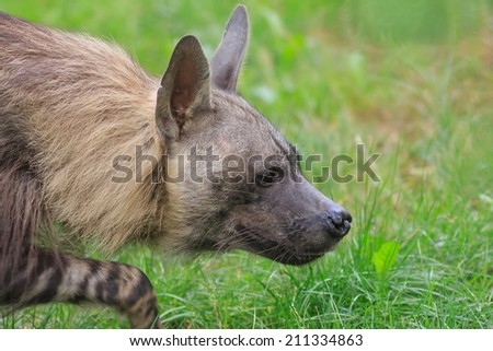 brown hyena is prowling for prey - stock photo