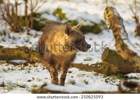 brown hyena looking for some prey - stock photo