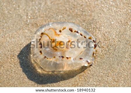 brown jellyfish - stock photo