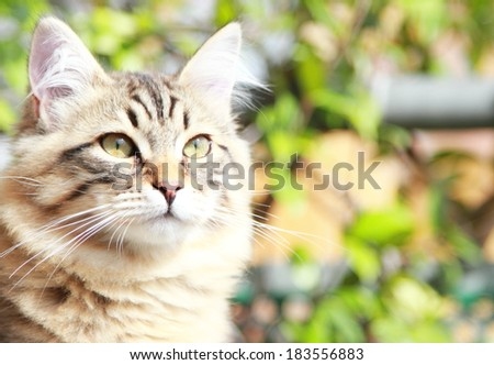 brown kitten of siberian breed at five months - stock photo