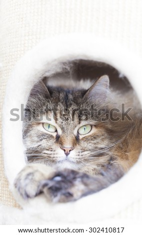 brown kitten of siberian breed into the scratching post - stock photo