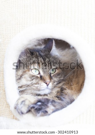 brown kitten of siberian breed into the scratching post, tricolor female - stock photo