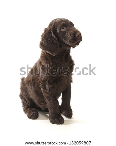 Brown labradoodle looking up sitting on a white background - stock photo