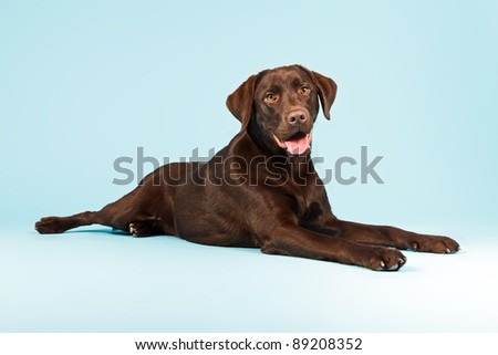 Brown labrador retriever lying down isolated on light blue background - stock photo
